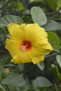 硕大的黄扶桑花朵