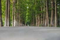 乡村道路高大树林