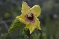 鲜黄色扶桑花