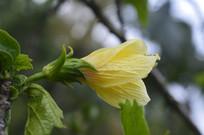 鲜黄色桑槿