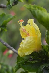 鲜黄色朱槿花