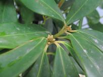 药用植物八角树