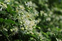 野外山坡上开小白花的爬秧植物