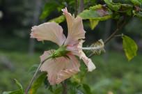一朵淡黄色扶桑花