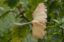 一朵淡黄色扶桑花侧拍