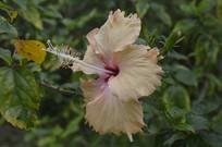 一朵淡黄色扶桑花摄影图