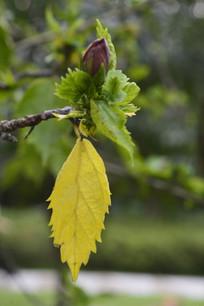 一片黄色扶桑树叶与花苞