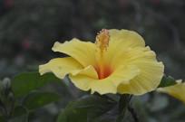 朱槿花品种砖红