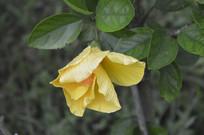朱槿品种橙黄色砖红