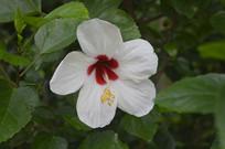 白色朱槿花