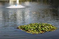 池塘里的睡莲植物