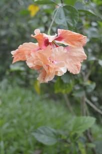 淡橙色重瓣扶桑花朵