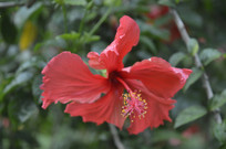 扶桑花瓣花蕊