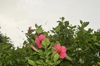 扶桑树上的花朵