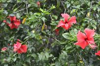 扶桑树枝与花朵