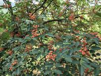 韩城花椒树