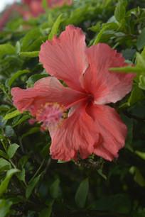 红色扶桑花花瓣