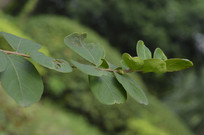 猴郎达树树叶