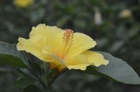 花园里的黄扶桑
