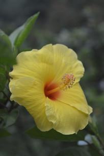 花园里的黄扶桑花朵