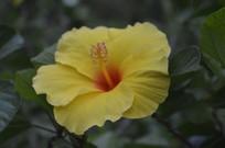 花园里的黄色扶桑花
