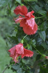 两朵即将盛开的扶桑花