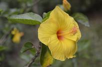 美丽的黄扶桑花朵