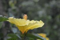 人工种植的黄色扶桑花