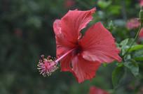 夏季开花的扶桑花