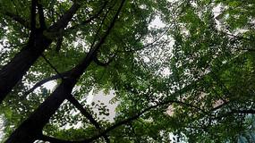 仰望茂密的树木枝叶