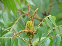 药用植物化香树