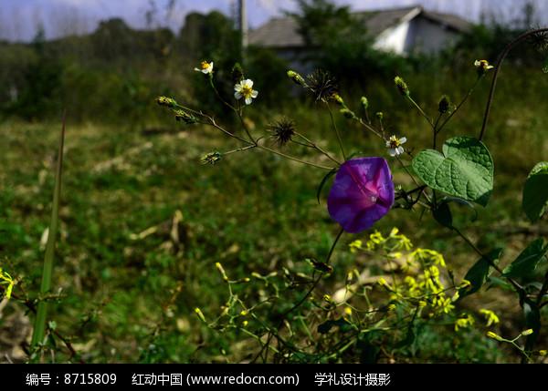 野外的喇叭花和小花图片