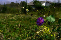 野外的喇叭花和小花