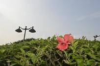 一朵扶桑花