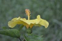 一朵黄扶桑
