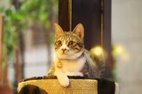 雕塑般的小花猫