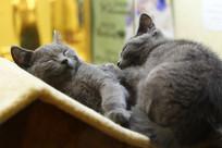 两只熟睡的小蓝猫