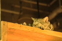 熟睡的小灰猫