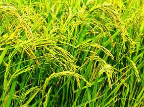 田里的稻穗