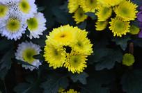 灿烂的菊花