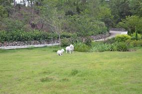 绿色草地上的两只小绵羊雕塑