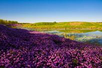 河畔紫色菊花
