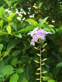 路边的紫色小花朵