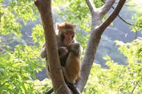 树上的猴子