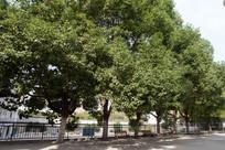 校园里成排的香樟树