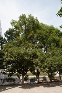 校园里的香樟树