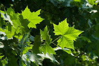 悬铃木绿色的叶子