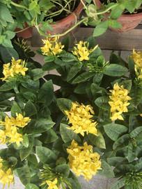 黄色的龙船花