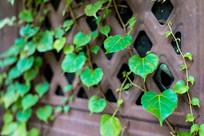 古窗上的攀藤植物