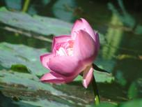 一朵水芙蓉
